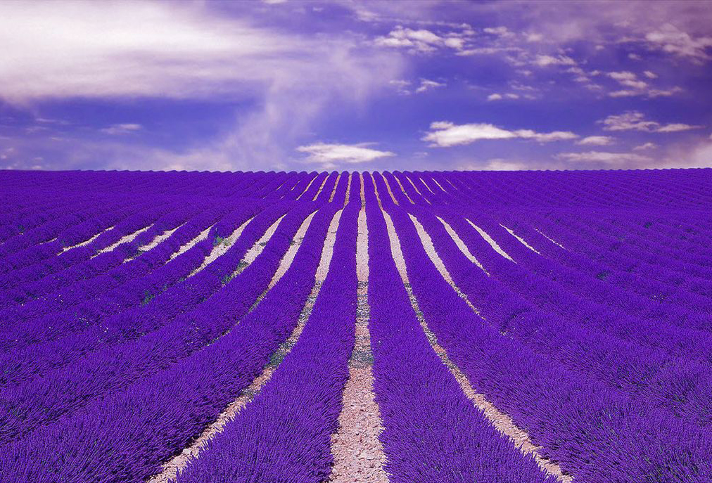 amazing-lavender-field-wallpapers-1024x768.jpg
